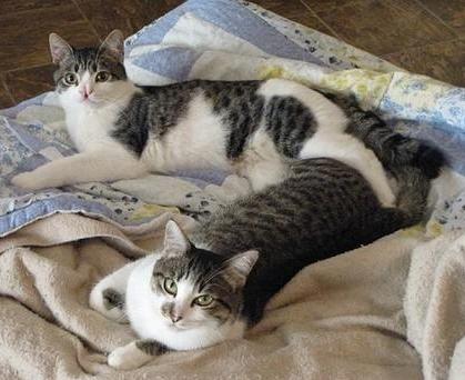 Dos gatos en un mismo hogar