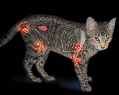 Osteoartrosis en gatos